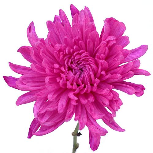 Electric Pink Mum Wedding Flower