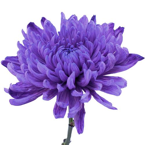 Purple Wedding Cremon Flower