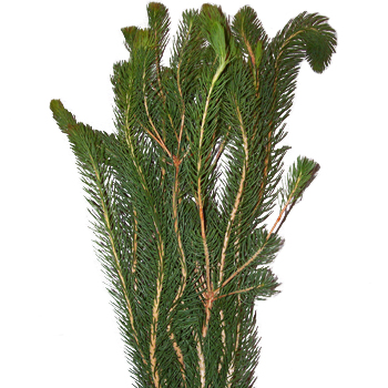 Curly Pine Filler Greens