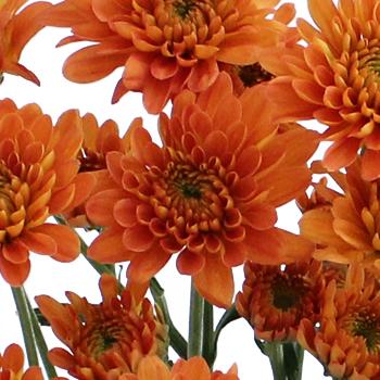 Fall Orange Dahlia Style Cushion Flower