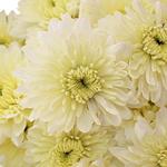 Creamy White Dahlia Style Cremon Flower