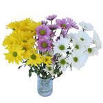 Mixed Color Bulk Daisy Flower