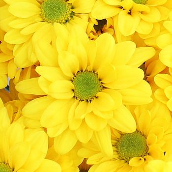 Super Daisy Yellow Flower