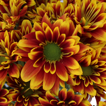 Indian Paintbrush Daisy Flower