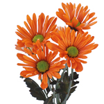 White Vero Daisy Orange Tinted Flower