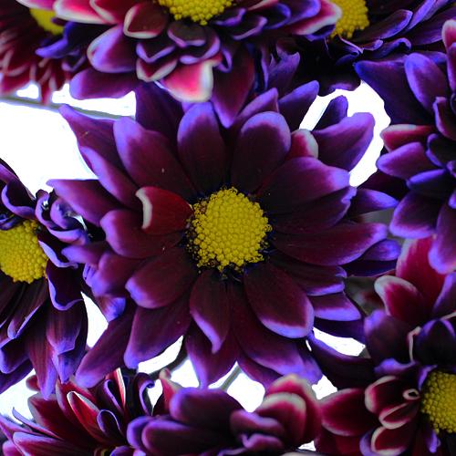 Tie Dye Daisy Flower Purple