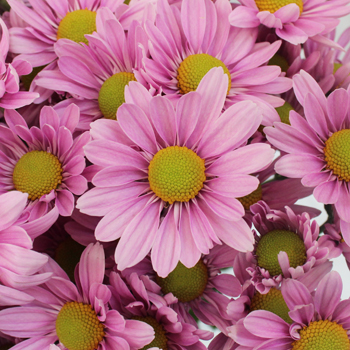 Volare Daisy Lavender Flower