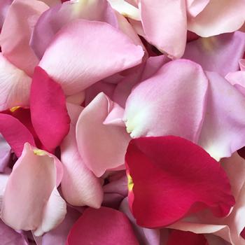 Shades of Pink Rose Petals