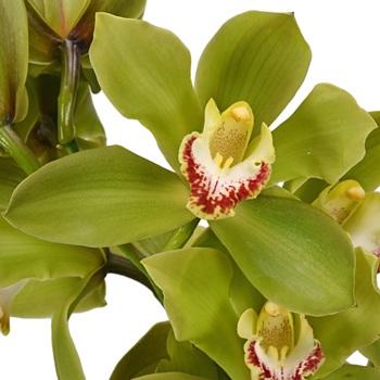 Cymbidium Orchids Green Overnight