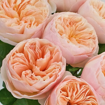David Austin Rose Peach Juliet Ausgameson