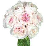 David Austin Light Pink Garden Rose Miranda