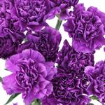 Bulk Carnation Flower Deep Purple