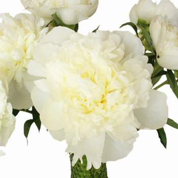 Natural White Peony Flowers June Delivery