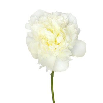 Duchess White Peonies Flower December Delivery