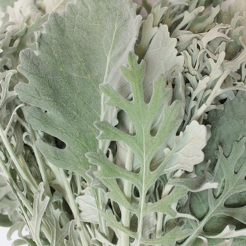 Dusty Miller Lacy and Flat Leaf Combo Pack