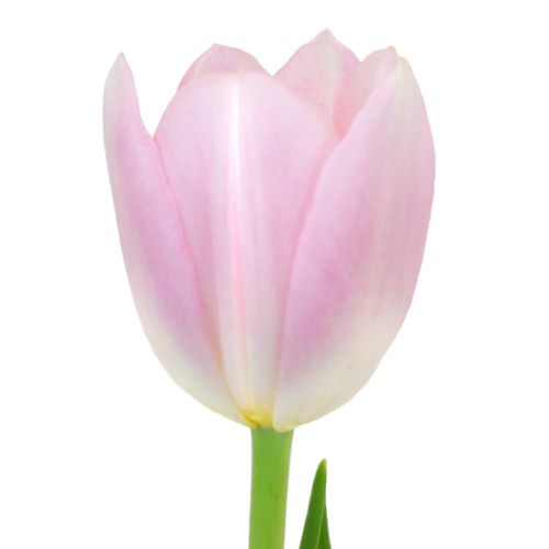 Dynasty Pink Fresh Tulips