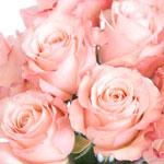 A Rose Full of Romance