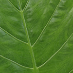 Leather Leaf Greenery