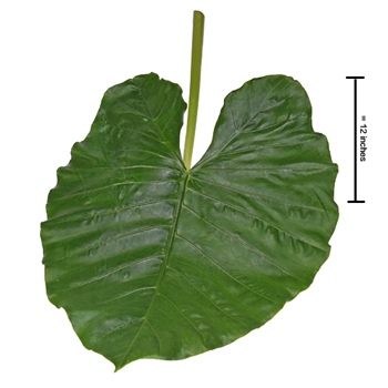 Elephant Ear Tropical Greenery