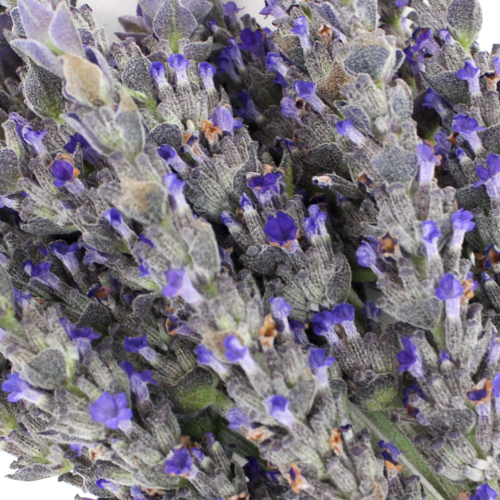 English Lavender Flower