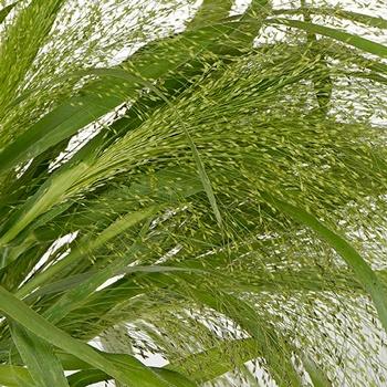 Bulk Explosion Grass