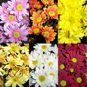Daisy Assorted Colors Flower
