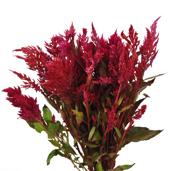 Raspberry Burgundy Feather Celosia