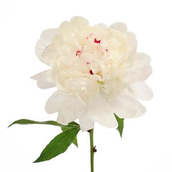 Festiva White Peonies Flower November