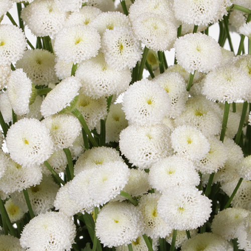 White Button Feverfew - May to October