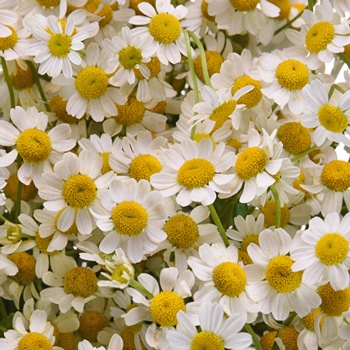 Feverfew Daisy Wholesale Cut Flower - May to October
