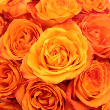Fiction Sunset Bulk Rose
