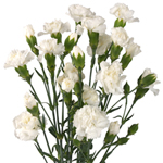 Bulk White Mini Carnations