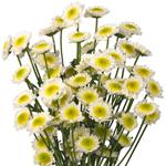 Puma Novelty Daisy Bulk Flower