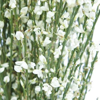 Ginestra White Wedding Flower