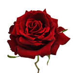 Red Rose Forever Young