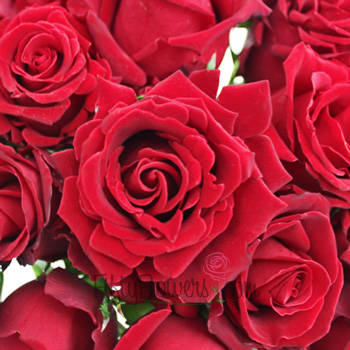 Forever Young Red Rose