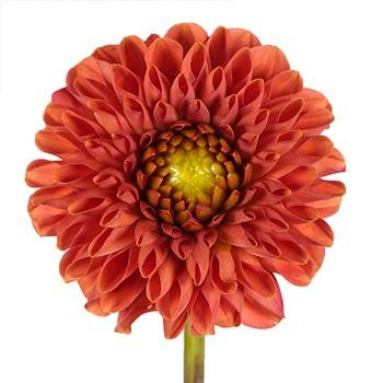 Desert Coral Dahlia Flower