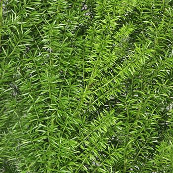 Foxtail Greenery