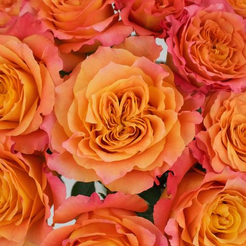 Garden Rose Orange Sherbet