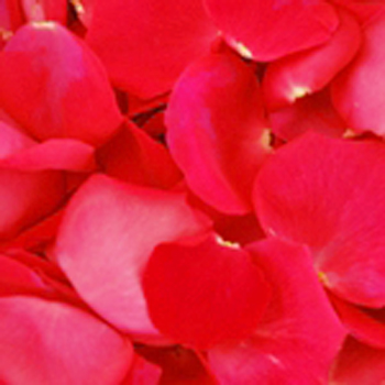Hot Pink Rose Petals