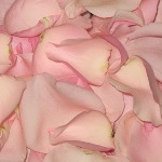 Light Pink Fresh Rose Petals