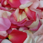 Fresh Rose Petals Touch of Pink