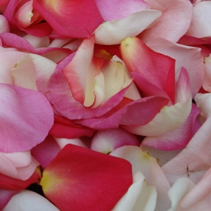 Pinksicle Rose Petals