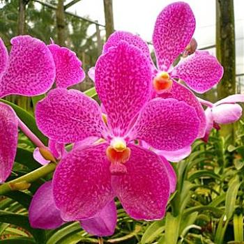 Vanda Orchids Fuchsia Magic
