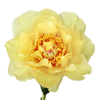Treasure Yellow Peony Flowers June Delivery