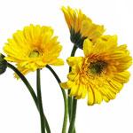 Germini Daisies Yellow Wholesale Flower
