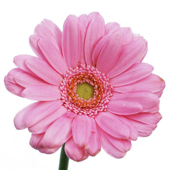 Mini Gerbera Daisies Peter Pan Pink