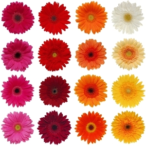 Novelty Gerberas Choose Your Own Colors