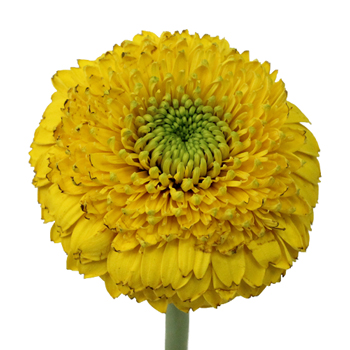 Gerrondo Gerbera Yellow Flower