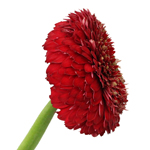 Wholesale Gerrondo Daisy Flower Red